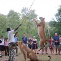 lion-feeding